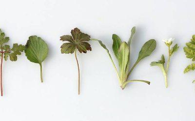 Melatonina vs piante medicinali
